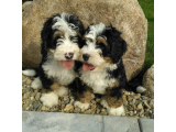 Mini Bernedoodle Puppies For Sale Florida | Michiana Bernedoodle - Classified Ad